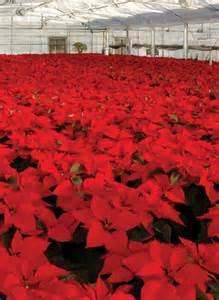 poinsettia-ranch